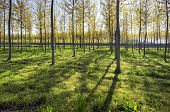 ������, ������: Poplar woods backlight Color image