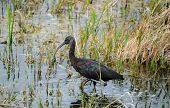 picture of wetland  - Glossy Ibis  - JPG
