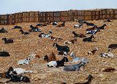 foto of goat horns  - Majorera goats  - JPG