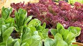 image of hydroponics  - salad vegetable hydroponics garden with water droplets on leaves - JPG