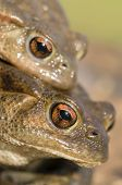 foto of mating  - Mating of toads Bufo on green grass