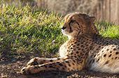image of cheetah  - A cheetah lying on the ground on a sunny day - JPG