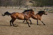 picture of running horse  - Herd of running horses on the dirty meadow at spring time - JPG