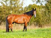 picture of bay horse  - Bright bay horse grazes on the field - JPG