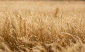 image of dry grass  - yellow dry grass field - JPG