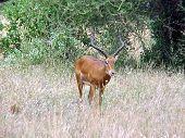 Solitary Impala Eating
