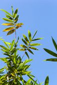 pic of bamboo leaves  - Bamboo green leaves on blue sky background - JPG