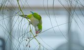 foto of parakeet  - One of many Monk Parakeets inhabiting the local areas along the coast of Spain - JPG