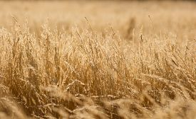 picture of dry grass  - yellow dry grass field - JPG