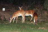 Whitetail Deer Bambi Doe Fawn