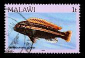 Malawi - Circa 1984: A 1-tambala Stamp Printed In Malawi Shows The Freshwater Cichlid Fish Melanochr