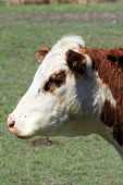 pic of hereford  - The face and eye of a Hereford cow covered with flies in early spring - JPG