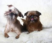 two Griffon Bruxellois in front (1 and 2 years)