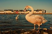 pic of claddagh  - Swans on the bank of Corrib river in Claddah Galway filter - JPG