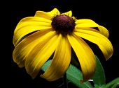 Blackeyed_Susan