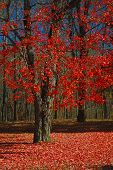 A red tree with lots of fallen leaves on a bright autumn day