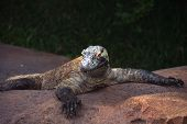 Close encounter of Komodo dragon at a local zoo