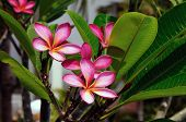 pink frangipani flowers at full bloom