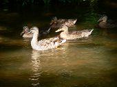 Ducks 002