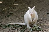 Nature albino kangaroo eating foliage