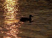 Ducks 004