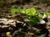 Water Snake 006