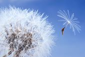 macro of a dandelion isolated on blue sky