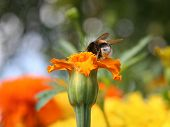 image of gadfly  - Gadfly on orange flower - JPG