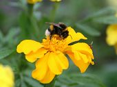 stock photo of gadfly  - Gadfly and second small fly on the same yellow flower - JPG
