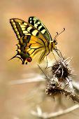 Постер, плакат: Крупным планом вертикально ориентированные изображение пятнистый красочные бабочки сидя на шип