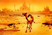 camel in front of the taj mahal at sunrise or sunset