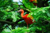 Red scarlet ibis, picking some foliage to built a nest