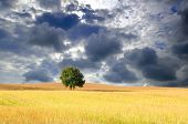 Solitary tree in wheat field with cloudy sky in Denmark