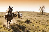 Stock horses on an Australian cattle station at sunrise