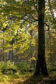 Old Hornbeam Tree Against Morning Light In Autumn