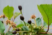 Cherry Berries Spoiled As A Result Of Unfavourable Meteorological Conditions - Late Frosts. Selectiv poster