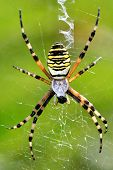 Argiope bruennichi spider eating in the web