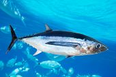 Albacore tuna fish Thunnus Alalunga underwater ocean [photo-illustration]