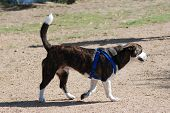 Beagle Mix Dog
