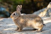 Cute Wild Rabbits On Okunoshima Island In Sunny Weaher, As Known As The  Rabbit Island . Numerous  poster