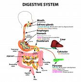 The Human Digestive System. Anatomical Structure. Digestion Of Carbohydrates, Fats And Proteins. Enz poster