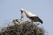 Stork family on the nest
