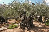 picture of gethsemane  - Jerusalem - JPG