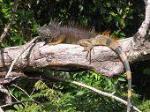 Male Iguana In Belize