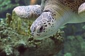 Aquatic Turtle I