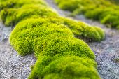 Patches Of Moss On A Rock. Green Moss Backlit By Sun In The Morning. Close Up Macro Photo Of Moss poster