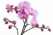 Violet Orchid With Many Buds