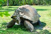 Giant Ivory Turtle On The Lawn. Giant Ivory Turtle On The Lawn. poster
