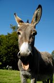 A donkey shows tongue. It is standing on green grass.