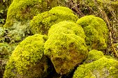 Bright Green Moss (bryophytes) On stones